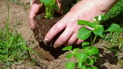 stock-footage-senior-women-planting-a-flower