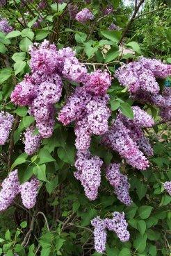 Lilac_bush-2edq3ho