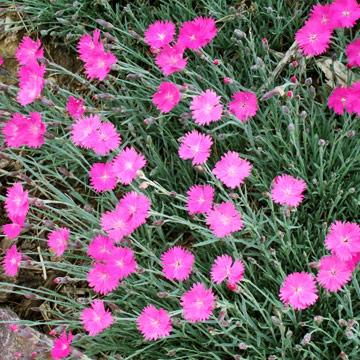 Dianthus.2474433_std