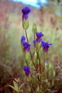 Gentiana-crinita-Fringed-Gentian-plant